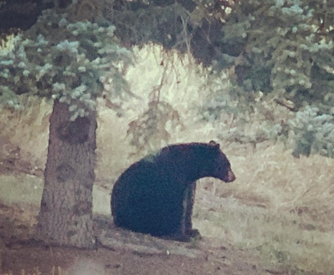 bear of apple valley