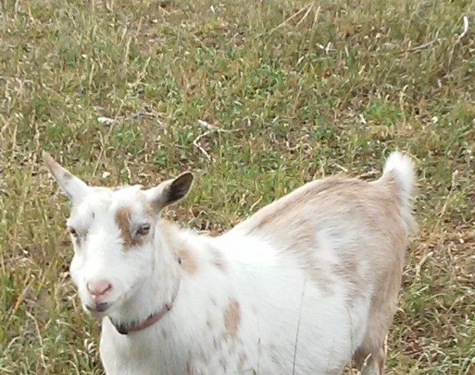 Betty the goat (3)